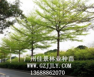 供应小叶榄仁等绿化种苗