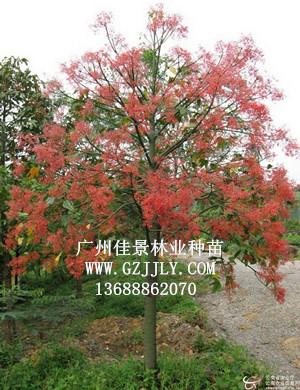 尺木是什么树